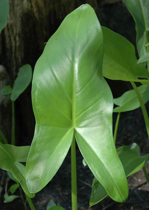 Peltandra virginica